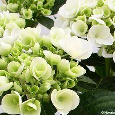 Nouveauté -Nombreuses fleurs plates, blanches puis vertes au fur et à mesure de son épanouissement, de juin à octobre.