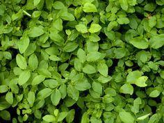 Nezapomeňte ani na sběr kontryhelu! Parsley, Herbs, Health, Food, Syrup, Compost, Health Care, Essen, Herb