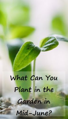 What Can You Plant in the Garden in Mid-June? A lot!