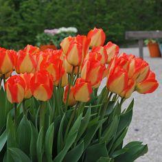 Ein Traum aus Blüten: die Tulpe 'American Dream'. Pflanzzeit ist im Herbst. Online bestellbar bei www.fluwel.de