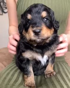 Michigan breeder of the most beautiful bernedoodle puppies! The world's best hypoallergenic, nonshedding family puppies. Dachshund Puppies, Cute Dogs And Puppies, Funny Animal Videos, Funny Animal Pictures, Bernedoodle Puppy, Wire Haired Dachshund, Rottweiler Dog, Puppy Eyes, German Shepherd Puppies