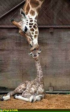 Google Image Result for http://www.fugly.com/media/IMAGES/Random/giraffes_first_kiss.jpg
