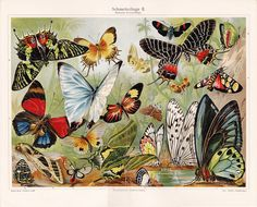 Vintage Butterfly   Vintage Butterfly Print - Antique Lithograph - Free Shipping