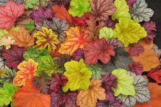 Ландшафтный дизайн сложно представить без гейхеры. Листья с возрастом сохраняют форму, поэтому успешно используются для создания геометрических форм, хорошо дополняют композицию