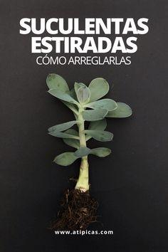 Suculentas, estiradas, alargadas, pérdida de color, tallo débil y delgado, hojas apuntando hacia abajo: algunos de los signos de la etiolación. Qué es la etiolación en las suculentas y cactus y cómo se puede corregir.  Iluminación en suculentas y cactus. Enfermedades en suculentas. Cómo arreglar suculentas etioladas, cómo decapitar suculentas.  Tips, trucos y consejos para cultivar suculentas y cactus   Atípicas Suculentas. Roof Garden Plants, Vertical Garden Plants, Planting Succulents, Diy Garden Bed, Herb Garden, Easy Herbs To Grow, Growing Herbs Indoors, Plants Are Friends, Herb Seeds