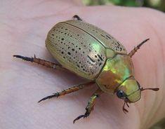 Aussie Christmas, Christmas Time, Eucalyptus Tree, Beetle, Bugs, Google Search, June Bug, Beetles, Beetles