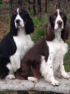 Miss my Spaniel & my Sprocker Cute Dogs Breeds, Dog Breeds, Spaniel Puppies For Sale, Field Spaniel, Spaniel Breeds, Super Cute Animals, Purebred Dogs, Boston Terrier Dog, English Springer Spaniel