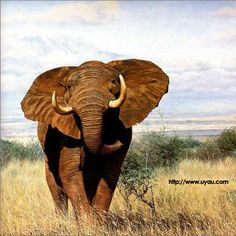 this is African Elephant and he is very strong and he don't have any mercy