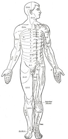 Illustrations. Fig. 797. Gray, Henry. 1918. Anatomy of the Human Body.