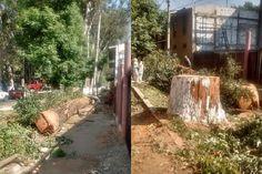 Serán denunciados ante instancias federales y estatales los que resulten responsables por el derribo ilegal de un árbol en la vía pública, advierte el Ayuntamiento de Pátzcuaro; la presente administración ...
