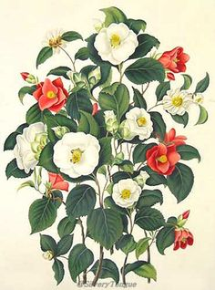 from Samuel Curtis, (1779-1860), A monograph on the genus Camellia.