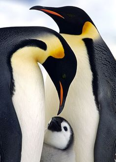 Emperor Penguins in the Antarctica,Tenderness Photo by Marcello Libra — National Geographic Your Shot Nature Animals, Animals And Pets, Baby Animals, Cute Animals, Penguin Love, Cute Penguins, Penguin Craft, Beautiful Birds, Animals Beautiful