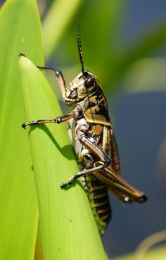 Huge grasshopper Grasshopper Pictures, Grasshoppers, Bugs And Insects, Spiders, Reptiles, Butterflies, Dragon, Creatures, Insects