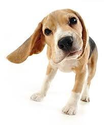 koira - Google-haku