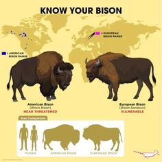 Know your bison chart Animals Of The World, Animals And Pets, Cute Animals, Fun Facts About Animals, Animal Facts, Animals Information, Animal Science, Animal Species, Wild Dogs
