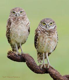 Burrowing Owls by Elizabeth.E - Pixdaus