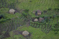 Coffee plantation, Rwanda