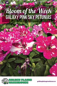 Bloom of the Week Galaxy Pink Sky Petunias How To Introduce Yourself, Make It Yourself, Pink Sky, Petunias, Say Hello, Night Skies, Backyard Landscaping, Contrast, Bloom