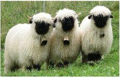 Heheheh, they're so woolly! Sheep Pig, Cute Sheep, Sheep Farm, Sheep And Lamb, Cattle Farming, Goat Farming, Livestock, Garden Animals, Farm Animals