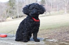 Black Miniature Poodles are the best!!! Looks like a little Benzy !