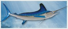 The White Marlin (Tetrapturus albidus) is the most cautious predator of the Marlin family, and is the most difficult to lure to strike.  It is found throughout the east coast of the U.S., Mexico, and the Caribbean. Although smaller than the other species of marlin, it is still a strong fighter and beautiful mount with its vibrant shades of blue. Recognized by its rounded pectoral fins, first dorsal fin and anal fin, the white marlin is lighter in color and shows more green than other…