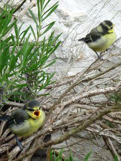 Oisillons tout juste sortis du nid ! Little birds just out of the nest ! #oiseaux #relais de saint preuil # vignobles #cognac #vacances #birds #vineyeards #paradise #holidays