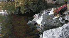 Epic Corgi Flop