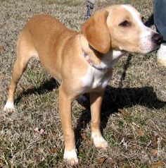 Meet NINA, a Petfinder adoptable Beagle Dog | Point Pleasant, PA | LULU'S SAYS MEET NINA!  NINA is a friendly 6-month old, 19-lb Beagle / Lab mix who was rescued from...