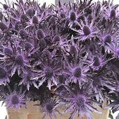 Eryngium Dyed Purple - 2018 Wedding Trend: Ultra Violet Purple. For lilac and purple wedding flowers to suit your colour scheme, visit our website at www.trianglenursery.co.uk/fresh-flowers!