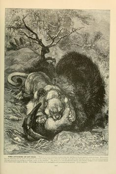 Puma attacking ant eater, Brehm's Life of Animals: A complete natural history for popular home instruction and for the use of schools, Alfred Edmund Brehm, Volume 1 (Mammalia), 1895.