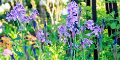 Vellugtende aftenstjerne og Iris Sibirica