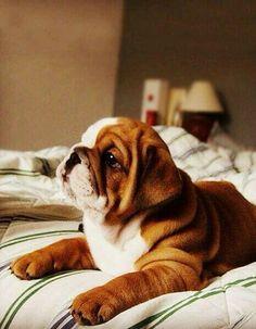 Focused bulldog pup