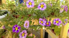 Calibrachoa Rave Violet