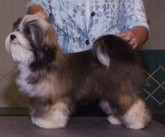 25+ best ideas about Havanese grooming on Pinterest ...