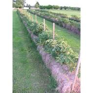 Straw bale gardening - vegetables now and perfectly mulched and conditioned soil for the hedgerow next season