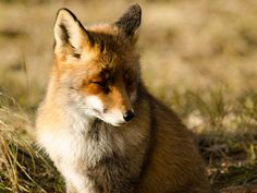 De oude dame The old lady  #vos #fox #awd #amsterdamsewaterleidingduinen