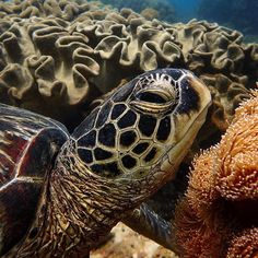 【lfeather】さんのInstagramをピンしています。 《I took this exactly one year ago and only just edited it for posting. I'm glad I found it 👍 Another dopey turtle at Apo Island who let me photograph him for like half an hour before nodding off to sleep. Lazy boy | 一年前私はこの写真をとりました。またフィリピンのアポ島の眠くてフレンドリーなカメですよ〜…