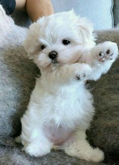 Maltese Dog Big - White Dog Japan - Dog Golden Retriever Names - Types Of Dog French Bulldogs - Dog Training Puppies Super Cute Puppies, Cute Baby Dogs, Cute Little Puppies, Cute Dogs And Puppies, Cute Little Animals, Cute Funny Animals, Doggies, Dog Baby, Big Dogs