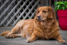 My Little Monster, Little Monsters, Dogs Golden Retriever, Sadie, Beagle, Smiley, Cute Pictures, Pup, Photography