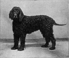 Mr. J. W. Jelly Dudley's Irish Water Spaniel, Shamus O'Flynn.