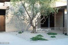 olive tree and gravel  and ground cover