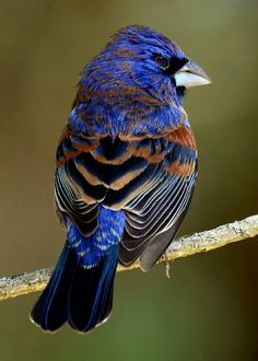 Blue Guiraka - North American song bird