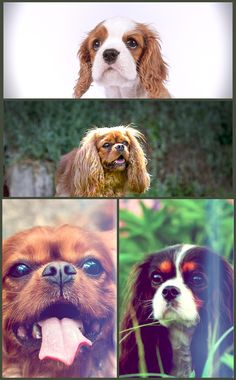 Bred purely as lap dogs, the Cavalier King Charles is smaller than many other spaniels and includes a generally lower prey drive, relative to their other spaniel cousins. Rather, they are incredibly affable pets, taking a quick taste to strangers and family members, living well with other family pets, and fitting in conveniently with households of kids or seniors. Look No Further For Advice On Dogs! Buy Them Here! Would you like to own a dog? Do you know what it takes to actually take care of yo