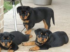 rottweiler puppies for sale in washington Rottweiler Breeders, Rottweiler Puppies For Sale, Rottweiler Funny, German Rottweiler, Baby Animals, Cute Animals, Cute Funny Babies, Dog Runs, Mundo Animal