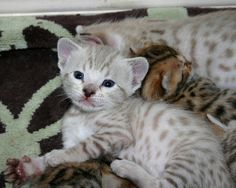 Snow Bengal Kittens | Spotted Seal Mink Snow Bengal Kitten | Flickr - Photo Sharing!