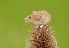 Harvest mouse by Linda Kent on 500px