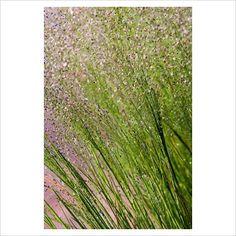 Agrostis nebulosa - Cloud Grass