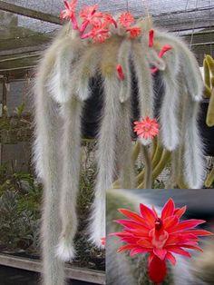 Hildewintera Colademononis * impresionantes Cactus de cola de mono * flores rojas * 10 semillas