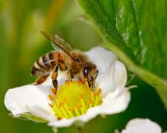 Europe steps up for bees. EPA, your turn! Bee Propolis, Bee Pollen, Save The Bees, Monarch Butterfly, Bee Keeping, Mother Earth, Free Food, Habitats, Insects