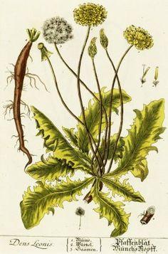 Shop Vintage Dandelion Illustration Poster created by samack. Healing Herbs, Medicinal Plants, Natural Healing, Natural Herbs, Natural Medicine, Herbal Medicine, Dandelion Coffee, Herb Guide, Wild Edibles